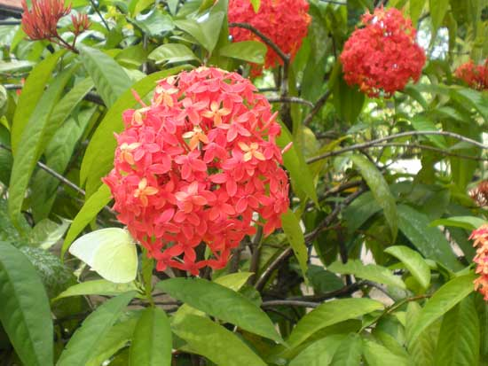 ixora spps kerala - Common Garden Flowers